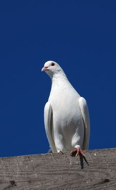 Free Pedigree Pigeons2 Stock Photo - 2985200
