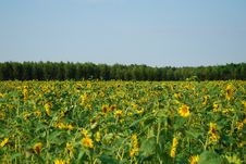 Free Sunflowers Stock Images - 2985394