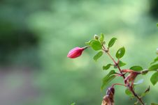Free Fucshia Flower Bud Stock Photos - 2985613