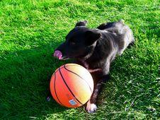 Free Black Dog Eating Basketball Royalty Free Stock Photography - 2986007