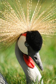Grey Crowned Crane Headshot Stock Image