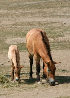 Free Przewalski S Horse And Foal Royalty Free Stock Photo - 2986775