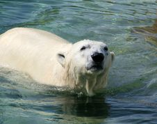 Free Polar Bear Stock Photography - 2986802