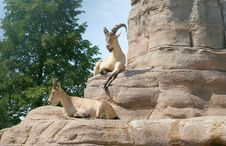 Free Barbary Sheep Stock Photography - 2986932