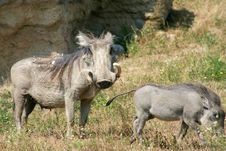Warthog And Baby Royalty Free Stock Image