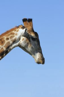 Free Giraffe Looking Down Royalty Free Stock Photo - 2987525