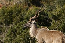 Free Kudu Ram Stock Photos - 2988523
