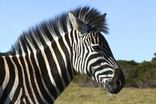 Free Zebra Late In The Afternoon Royalty Free Stock Image - 2988646
