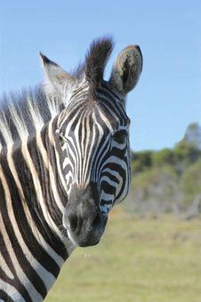 Free Zebra Looking Backwards Royalty Free Stock Photos - 2988698
