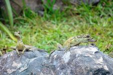 Green Lizards Royalty Free Stock Image