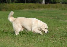 Free Golden Retriver Stock Photos - 2989833
