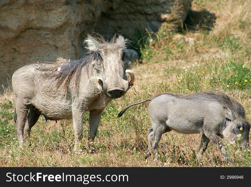 Warthog and Baby