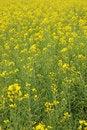 Free Rape Flowers Field Royalty Free Stock Photos - 29805098