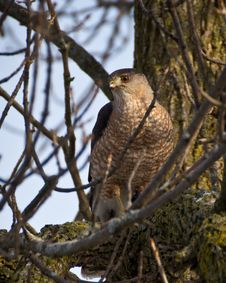 Free Hawk Stock Image - 29802381