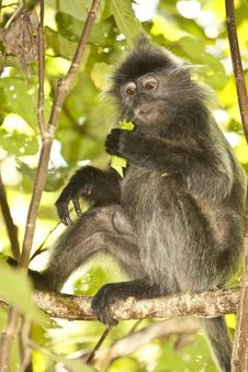 Free Silver Leaf Monkey/Langur In Tree Royalty Free Stock Images - 29802399