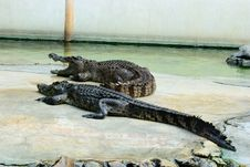 Both Crocodile In Crocodile Farm Show Time Royalty Free Stock Photography