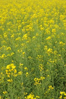 Free Rape Flowers Field Royalty Free Stock Photos - 29805098