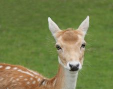 Free Fallow Deer. Royalty Free Stock Photo - 29806705