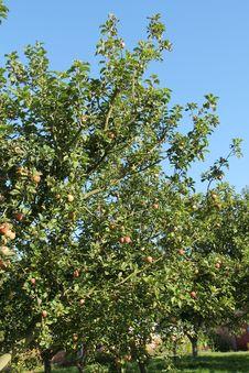Free Apple Tree. Stock Photos - 29806743