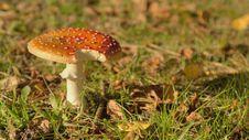 Free Fly Agaric Mushroom Stock Photos - 29807263