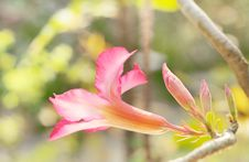 Free Desert Rose /pink  Impala Lily Stock Photo - 29809600