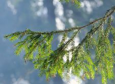Free Fir Tree Branch Against The Sun Stock Images - 29811234
