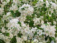Free Blooming Apple Tree Stock Photo - 29812910