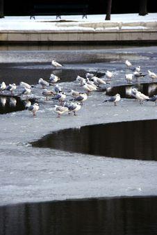 Flock Of White Birds On Frozen Lake Royalty Free Stock Image