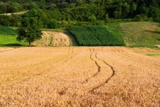 Free Grain Field Stock Photos - 29817703