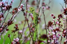 Free Green Chameleon Swinging On A Branch Royalty Free Stock Images - 29818289