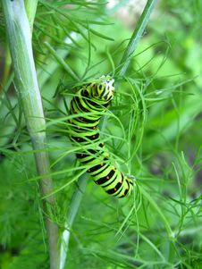Free Caterpillar Of Machaon Sitting On The Fennel Royalty Free Stock Photos - 29818468
