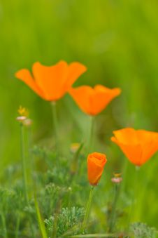 Free Wild Poppies In Bloom Stock Photography - 29823102