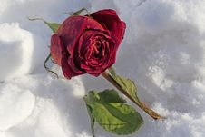 Free Dried Rose Frosted On Snow Cover Royalty Free Stock Image - 29823246