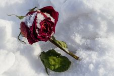 Free Dried Rose Frosted On Snow Cover Royalty Free Stock Images - 29823269