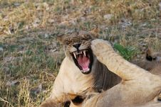 Angry Lioness Royalty Free Stock Photography