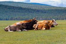 Free Cows On Island Olkhon Royalty Free Stock Photography - 29829107
