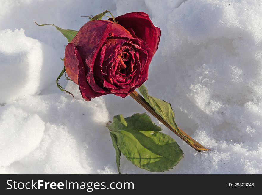 Dried rose frosted on snow cover
