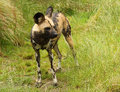 Free African Wild Dog Royalty Free Stock Images - 29832979