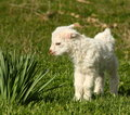Free Baby Goat Kid Stock Photo - 29834140