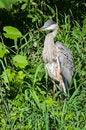 Free Blue Heron Royalty Free Stock Image - 29837526