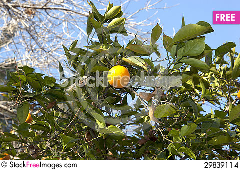 Free Orange Tree Stock Images - 29839114