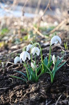 Free Snow Drops Royalty Free Stock Photography - 29832077