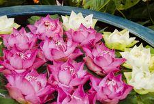 Free Lotus Flowers Stock Photos - 29832583