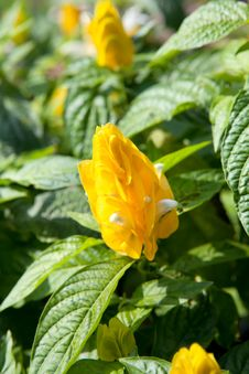 Free Golden Shrimp Plant Stock Photography - 29832922