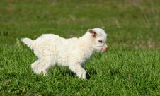 Free Baby Goat Running Royalty Free Stock Photography - 29834117