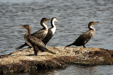 Free Four Cormorants On A Small Island Royalty Free Stock Photo - 29834615
