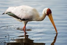 Free Yellow-billed Stork Stock Photo - 29834660