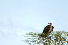 Free African Vulture Stock Photo - 29834740