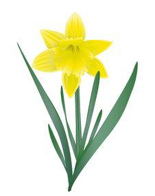 Free Daffodil Stock Image - 29834771