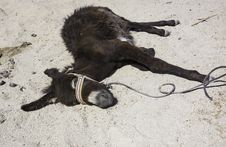 Free Recumbent Donkey Royalty Free Stock Photos - 29836618